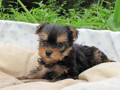 ヨークシャーテリアの子犬(ID:1232811041)の2枚目の写真/更新日:2014-08-07