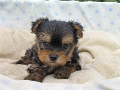 ヨークシャーテリアの子犬(ID:1232811041)の3枚目の写真/更新日:2014-08-07