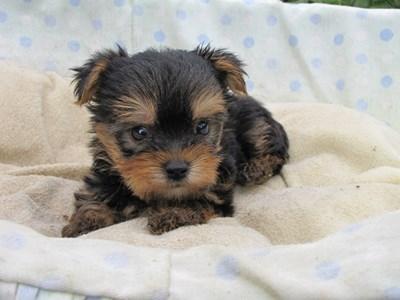 ヨークシャーテリアの子犬(ID:1232811041)の5枚目の写真/更新日:2014-08-07