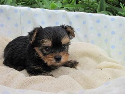 ヨークシャーテリアの子犬(ID:1232811041)の6枚目の写真/更新日:2014-08-07