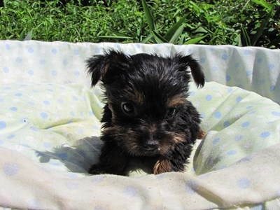 ヨークシャーテリアの子犬(ID:1232811042)の1枚目の写真/更新日:2014-08-15