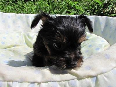 ヨークシャーテリアの子犬(ID:1232811042)の2枚目の写真/更新日:2014-08-15