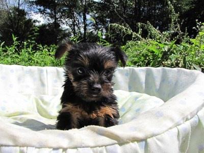 ヨークシャーテリアの子犬(ID:1232811042)の3枚目の写真/更新日:2014-08-15