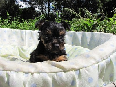 ヨークシャーテリアの子犬(ID:1232811042)の4枚目の写真/更新日:2014-08-15