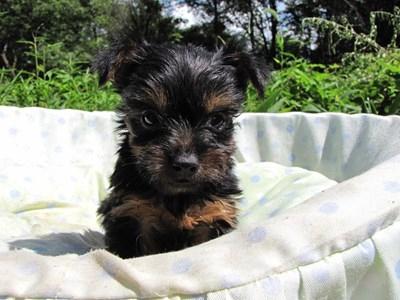 ヨークシャーテリアの子犬(ID:1232811042)の5枚目の写真/更新日:2014-08-15