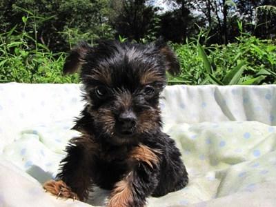 ヨークシャーテリアの子犬(ID:1232811042)の6枚目の写真/更新日:2014-08-15