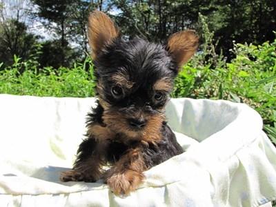 ヨークシャーテリアの子犬(ID:1232811043)の1枚目の写真/更新日:2014-08-17