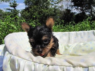 ヨークシャーテリアの子犬(ID:1232811043)の2枚目の写真/更新日:2014-08-17