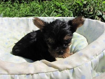 ヨークシャーテリアの子犬(ID:1232811043)の5枚目の写真/更新日:2014-08-17