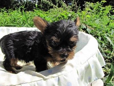 ヨークシャーテリアの子犬(ID:1232811043)の6枚目の写真/更新日:2014-08-17