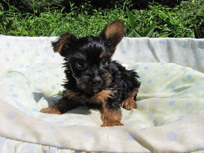 ヨークシャーテリアの子犬(ID:1232811044)の1枚目の写真/更新日:2014-08-20