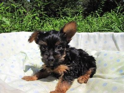 ヨークシャーテリアの子犬(ID:1232811044)の2枚目の写真/更新日:2014-08-20