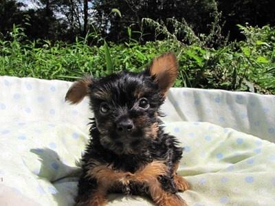 ヨークシャーテリアの子犬(ID:1232811044)の3枚目の写真/更新日:2014-08-20