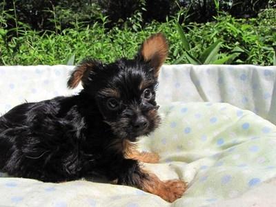 ヨークシャーテリアの子犬(ID:1232811044)の4枚目の写真/更新日:2014-08-20
