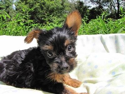 ヨークシャーテリアの子犬(ID:1232811044)の5枚目の写真/更新日:2014-08-20