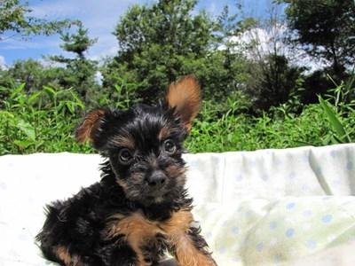 ヨークシャーテリアの子犬(ID:1232811044)の6枚目の写真/更新日:2014-08-20