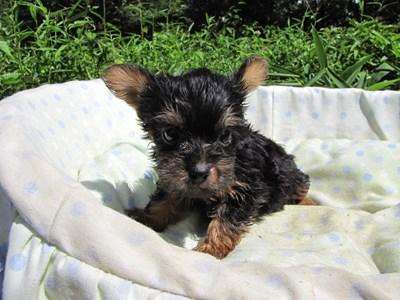 ヨークシャーテリアの子犬(ID:1232811045)の1枚目の写真/更新日:2014-08-20