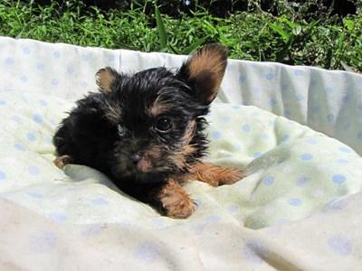 ヨークシャーテリアの子犬(ID:1232811045)の4枚目の写真/更新日:2014-08-20