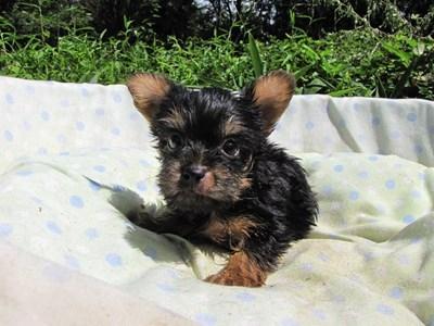 ヨークシャーテリアの子犬(ID:1232811045)の5枚目の写真/更新日:2014-08-20
