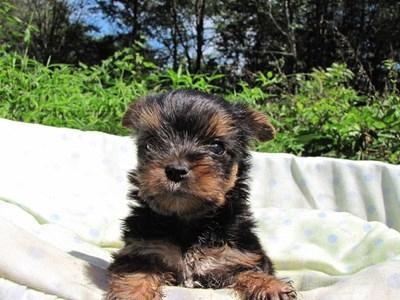 ヨークシャーテリアの子犬(ID:1232811046)の1枚目の写真/更新日:2014-08-21