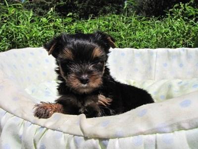 ヨークシャーテリアの子犬(ID:1232811046)の2枚目の写真/更新日:2014-08-21