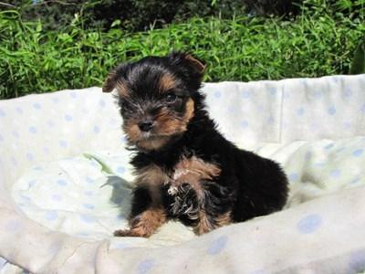 ヨークシャーテリアの子犬(ID:1232811046)の3枚目の写真/更新日:2014-08-21