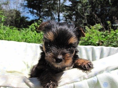 ヨークシャーテリアの子犬(ID:1232811046)の4枚目の写真/更新日:2014-08-21