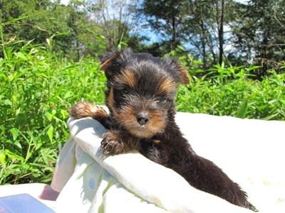 ヨークシャーテリアの子犬(ID:1232811046)の5枚目の写真/更新日:2014-08-21