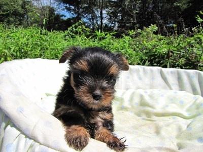 ヨークシャーテリアの子犬(ID:1232811046)の6枚目の写真/更新日:2014-08-21
