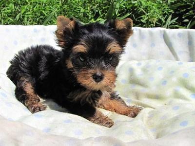 ヨークシャーテリアの子犬(ID:1232811047)の1枚目の写真/更新日:2014-08-22