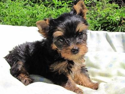 ヨークシャーテリアの子犬(ID:1232811047)の2枚目の写真/更新日:2014-08-22