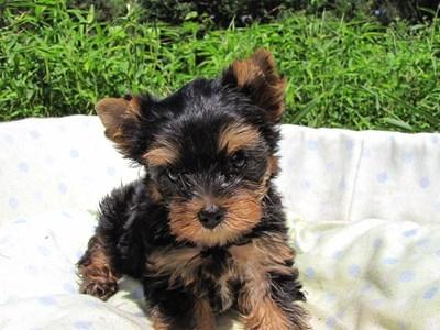 ヨークシャーテリアの子犬(ID:1232811047)の3枚目の写真/更新日:2014-08-22
