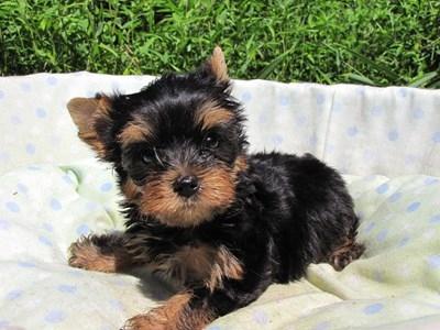 ヨークシャーテリアの子犬(ID:1232811047)の4枚目の写真/更新日:2014-08-22