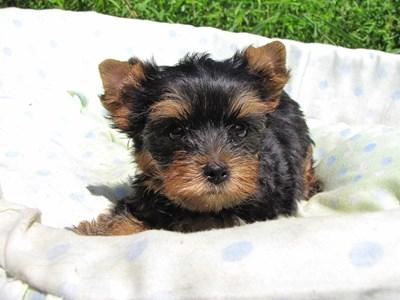ヨークシャーテリアの子犬(ID:1232811047)の5枚目の写真/更新日:2014-08-22