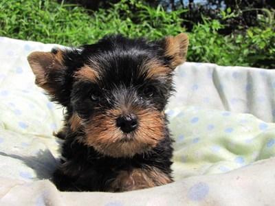 ヨークシャーテリアの子犬(ID:1232811047)の6枚目の写真/更新日:2014-08-22