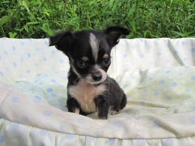 チワワ(ロング)の子犬(ID:1232811048)の1枚目の写真/更新日:2014-08-23
