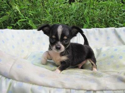 チワワ(ロング)の子犬(ID:1232811048)の2枚目の写真/更新日:2014-08-23
