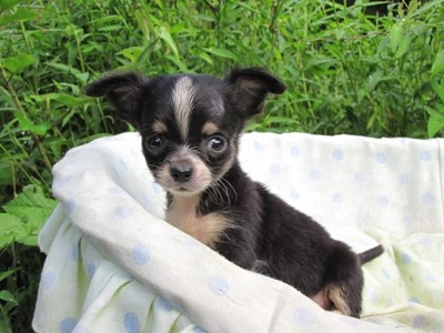 チワワ(ロング)の子犬(ID:1232811048)の3枚目の写真/更新日:2014-08-23