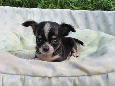チワワ(ロング)の子犬(ID:1232811048)の4枚目の写真/更新日:2014-08-23