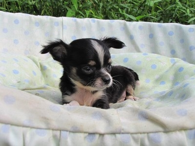 チワワ(ロング)の子犬(ID:1232811048)の5枚目の写真/更新日:2014-08-23