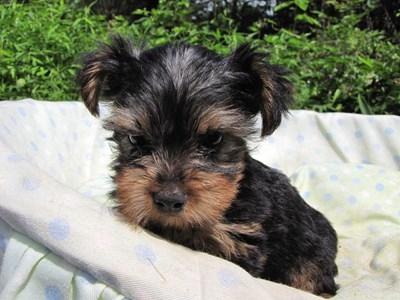 ヨークシャーテリアの子犬(ID:1232811050)の1枚目の写真/更新日:2014-08-30