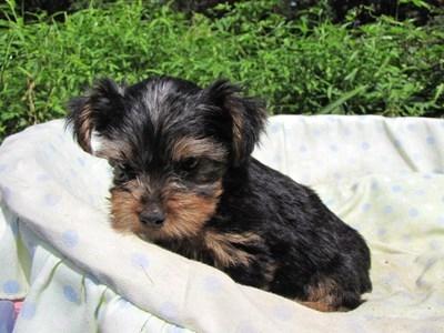 ヨークシャーテリアの子犬(ID:1232811050)の2枚目の写真/更新日:2014-08-30
