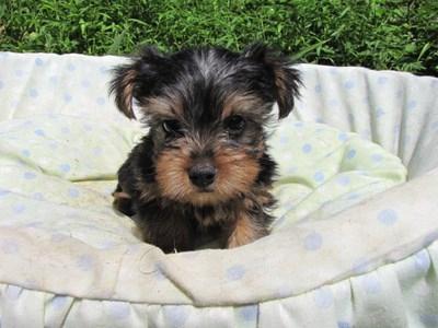 ヨークシャーテリアの子犬(ID:1232811050)の4枚目の写真/更新日:2014-08-30