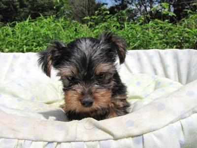 ヨークシャーテリアの子犬(ID:1232811050)の5枚目の写真/更新日:2014-08-30