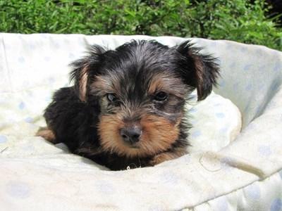 ヨークシャーテリアの子犬(ID:1232811050)の6枚目の写真/更新日:2014-08-30