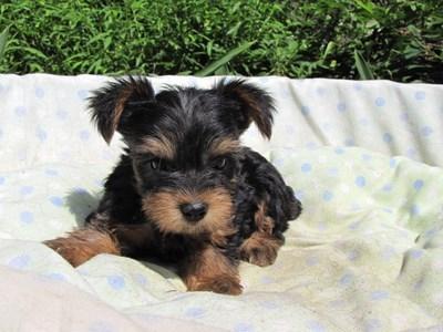ヨークシャーテリアの子犬(ID:1232811051)の1枚目の写真/更新日:2014-09-02