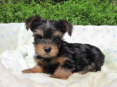 ヨークシャーテリアの子犬(ID:1232811051)の2枚目の写真/更新日:2014-09-02