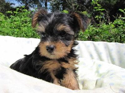 ヨークシャーテリアの子犬(ID:1232811051)の3枚目の写真/更新日:2014-09-02
