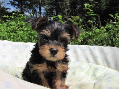ヨークシャーテリアの子犬(ID:1232811051)の4枚目の写真/更新日:2014-09-02