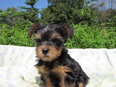 ヨークシャーテリアの子犬(ID:1232811051)の5枚目の写真/更新日:2014-09-02